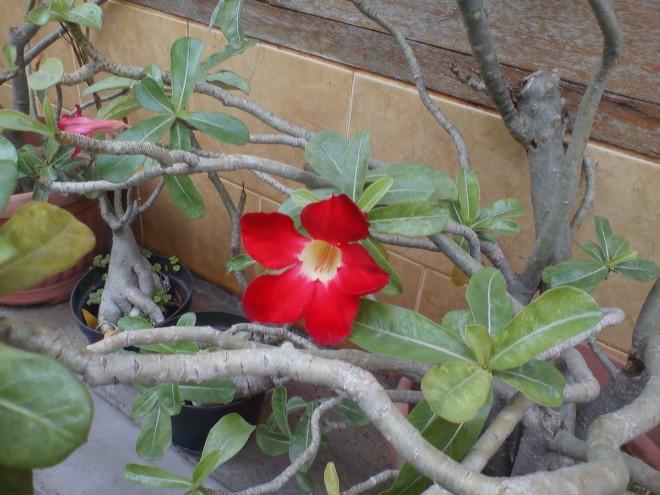 Plumeria Flower (Bunga Kamboja)